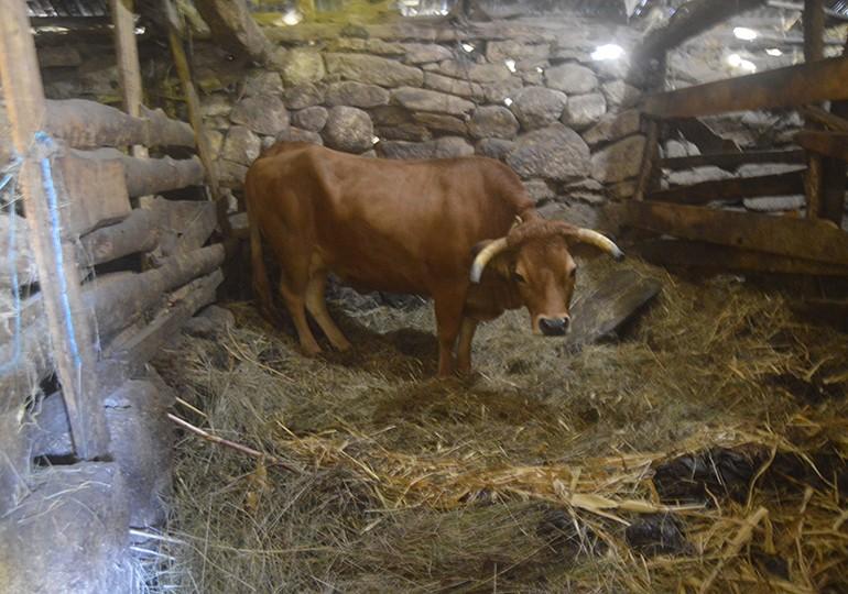 Vaca Cabanas