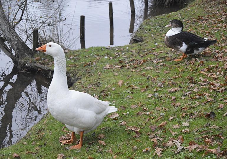 Patos do Rio Ul